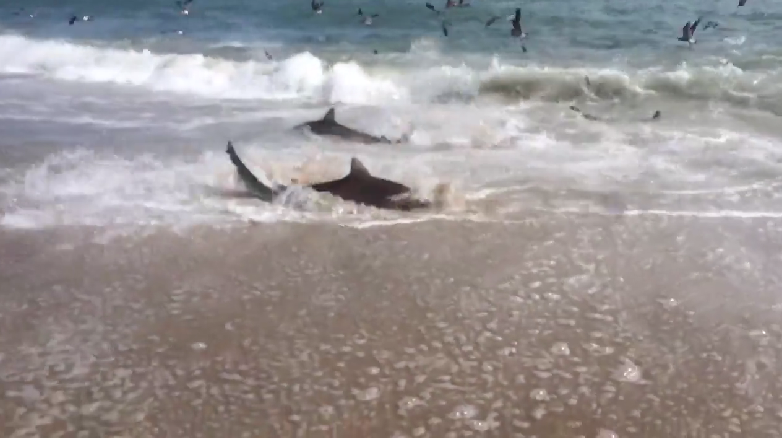 Video Shark Feeding Frenzy In The Outer Banks